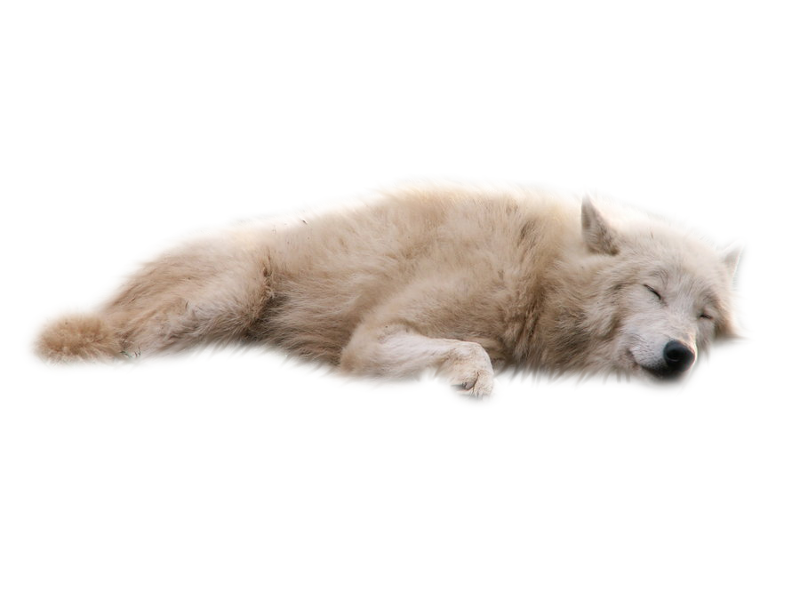 Download Wolves White Background Transparent PNG For.