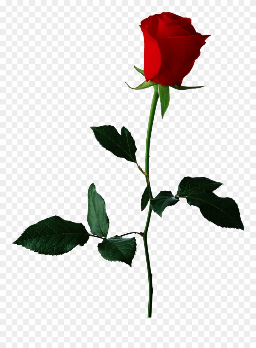 Red Rose Clipart Original.