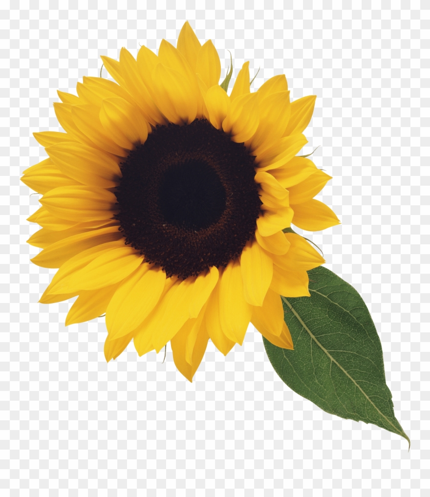 Sunflower Png Image Purepng Free Transpa Cc0 Png Image.