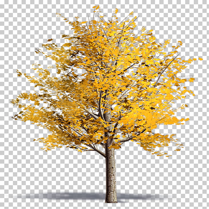 Twig Plane trees Ginkgo biloba Plane tree family, acer.