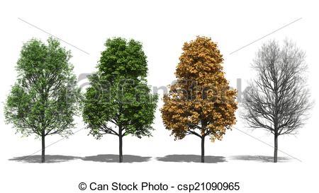 Stock Illustration of Acer platanoides (Four Seasons).