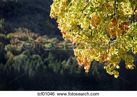 Stock Images of Norway Maple (Acer platanoides L.), forest in.