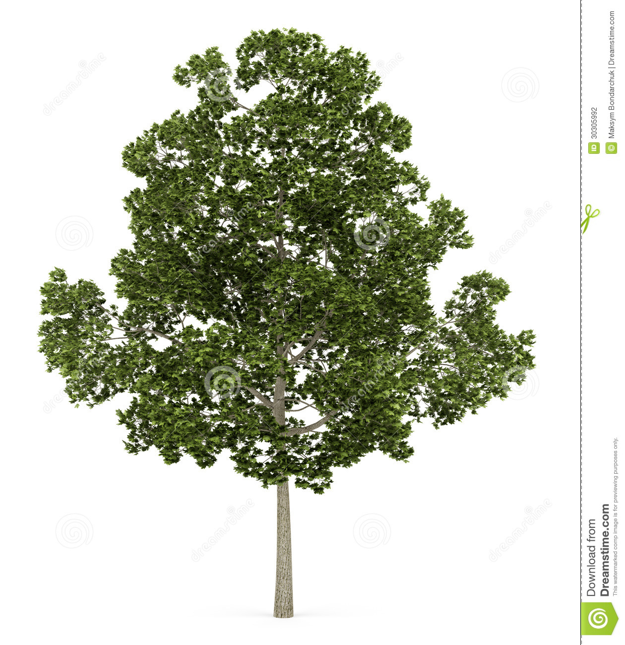 Acer Platanoides Tree Isolated On White Stock Photography.