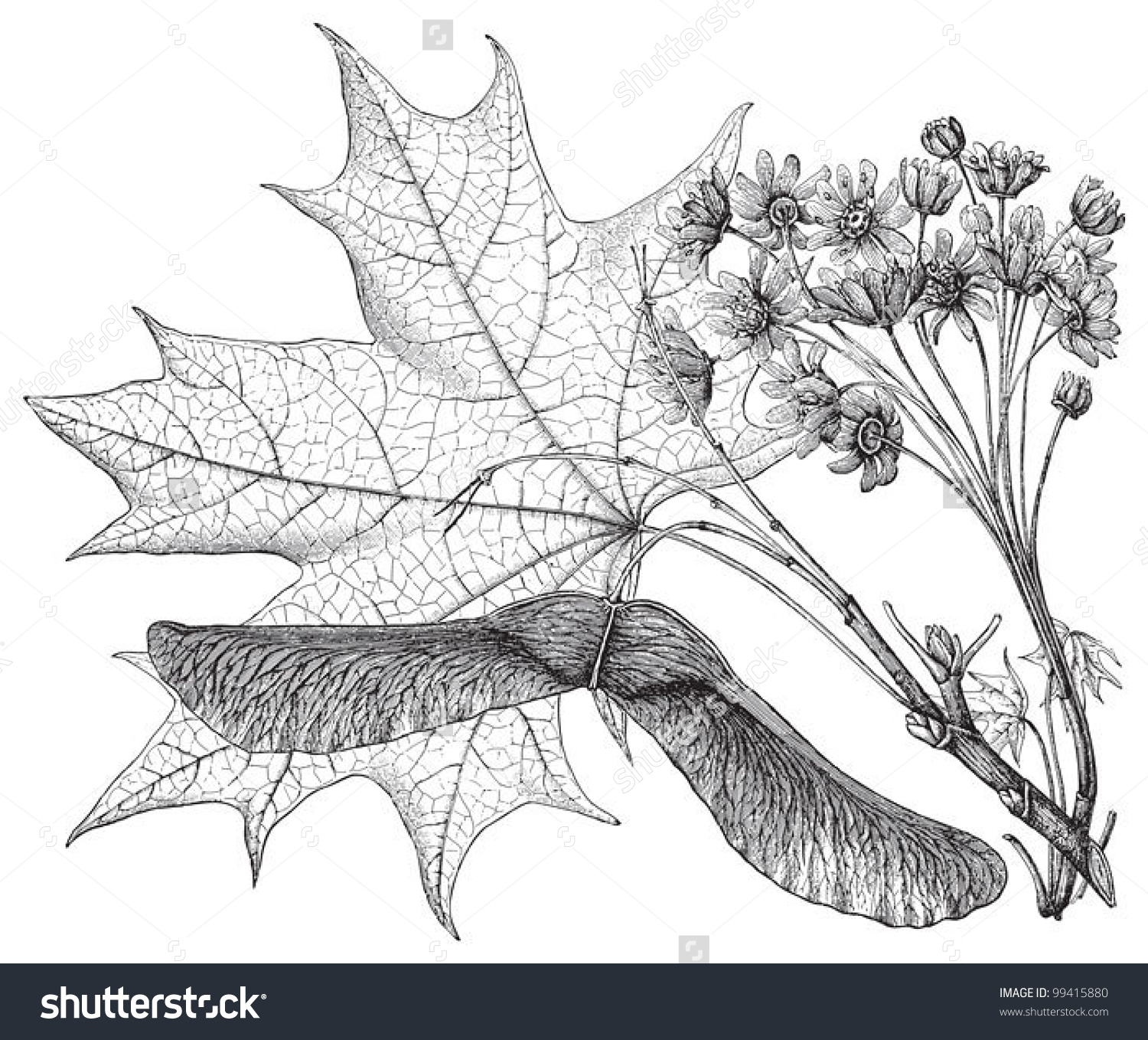 Norway Maple Acer Platanoides Vintage Illustration Stock Vector.