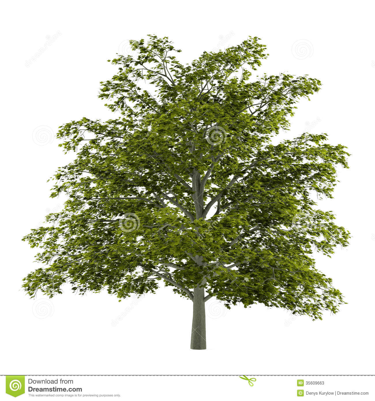 Tree Isolated. Acer Platanoides Stock Photos.