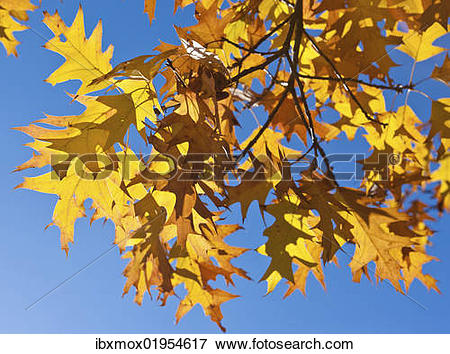 Picture of Autumn leaves of a Norway Maple (Acer platanoides.