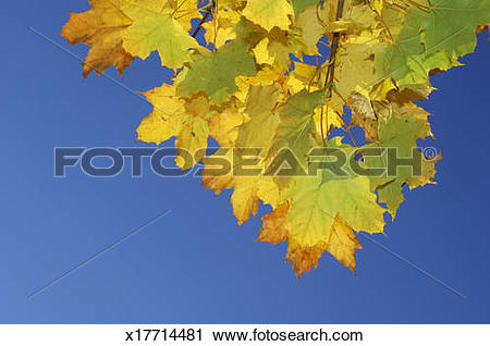 Stock Photography of Autumn leaves of Norway Maple (Acer.