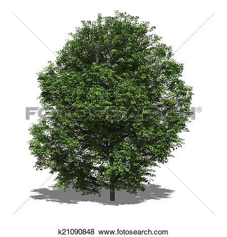 Stock Illustration of Acer platanoides (summer) k21090848.