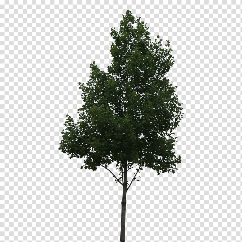 Tree Architecture Deciduous, tree transparent background PNG.