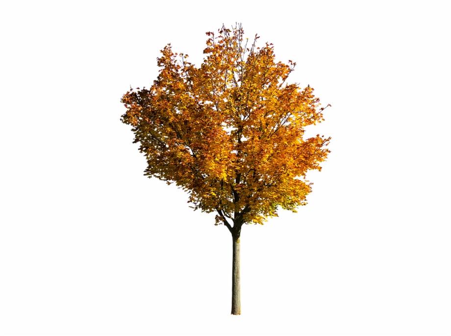 Nature Tree Autumn Leaves Fall Foliage Isolated.