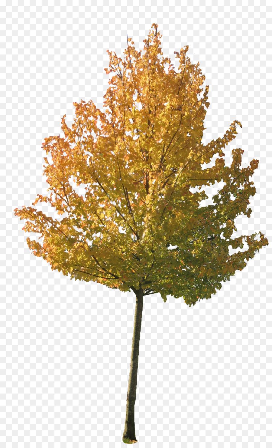 Tree Autumn Maple.