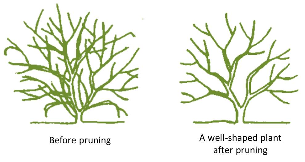 Pruning Basics for Trees and Shrubs.