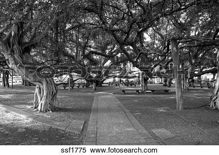 Stock Image of Fantastic Banyan Tree in Lahaina town center, Maui.