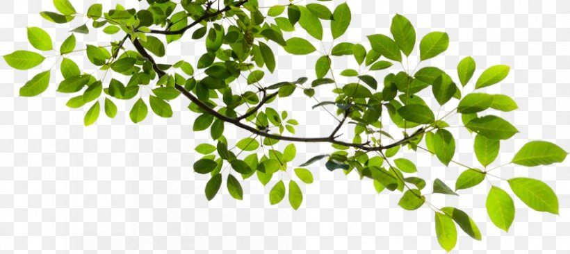 Tree Branch Clip Art, PNG, 846x378px, Tree, Branch, Herb.