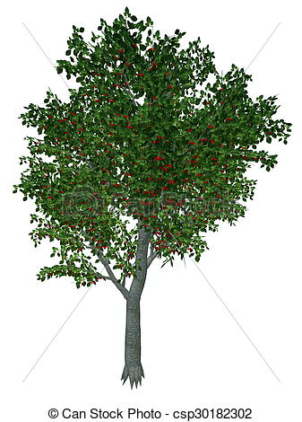 Stock Illustration of Sweet or wild cherry tree.