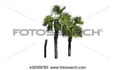 Drawing of Palmetto palm tree cluster k32509783.