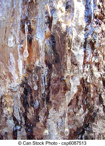 Stock Photos of Sap dripping from pine tree.
