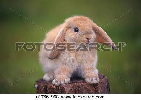 Pictures of a Lop Ear Rabbit Standing on a Tree Trunk, Looking at.