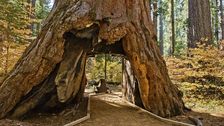 Iconic Sequoia \'Tunnel Tree\' Falls After Intense Winter.