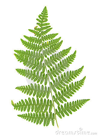 Fern leaves clipart.