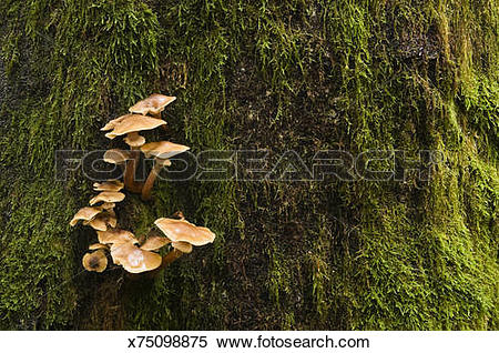 Stock Image of Fungi growing in moss covered tree trunk x75098875.