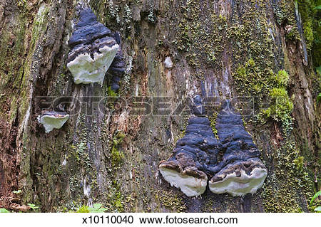 Stock Photography of Shelf Fungi decomposing a rain forest tree.