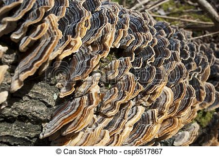 Picture of Closeup on shelf mushroooms. Tree Fungus polyporus.