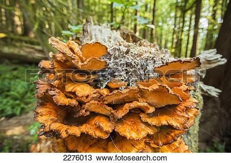 Stock Photo of A fungus called polyporus sulphureus found on trees.