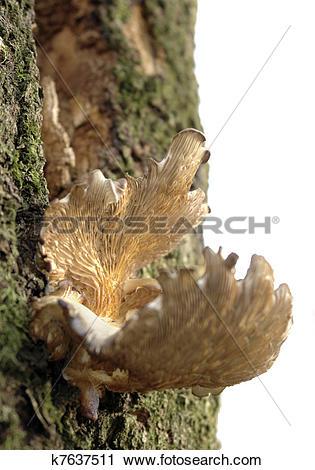 Stock Photography of mushroom on tree stem k7637511.