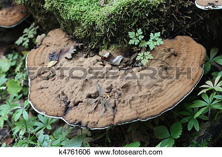 Stock Images of Tree fungus (Polyporus applanatus) k4761606.