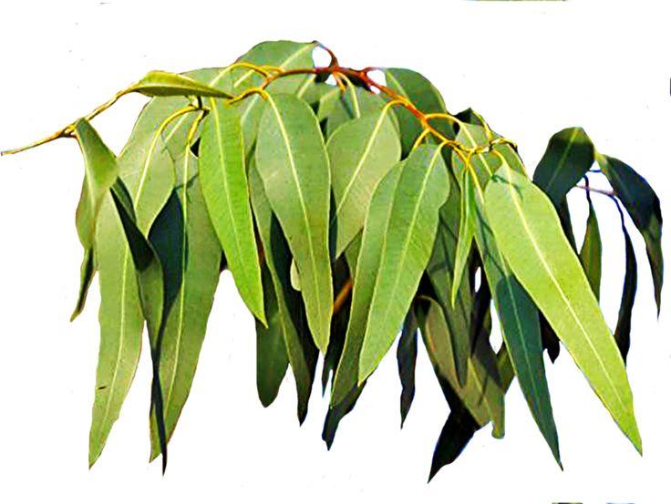 Gum leaves clipart.