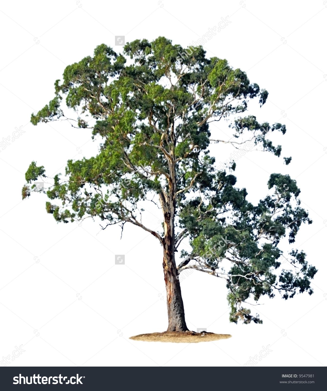Clipart gum tree pictures.