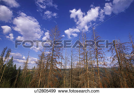 Stock Photograph of Dying pine trees from insect infestation, near.