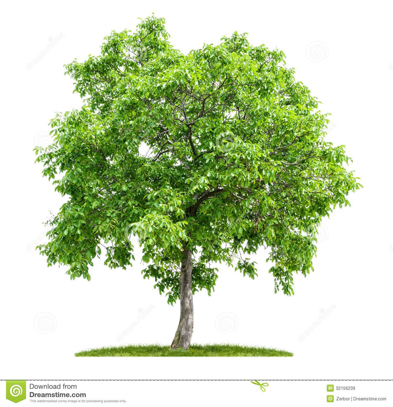 Walnut tree clipart clipart.