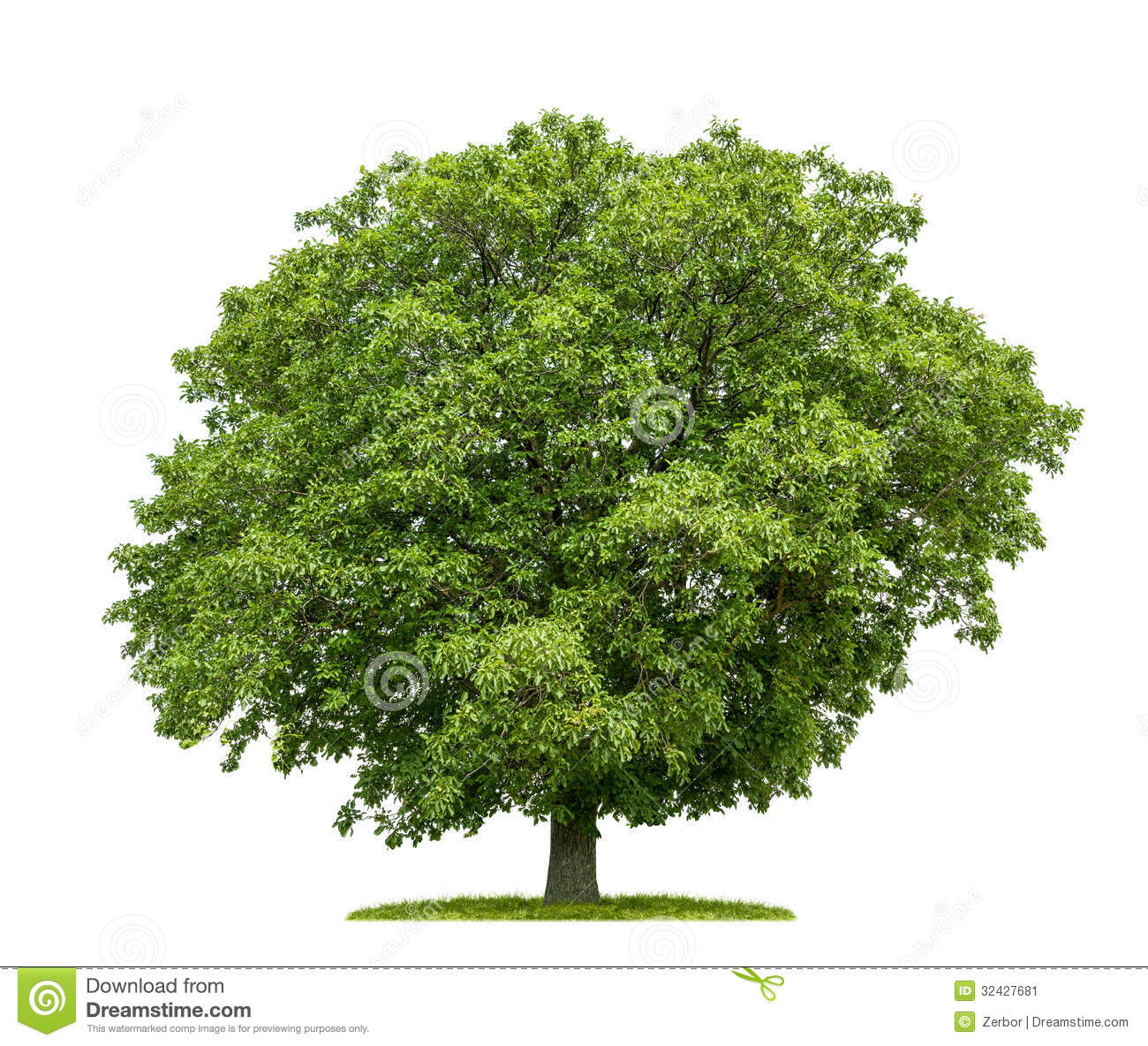 Walnut tree clipart.