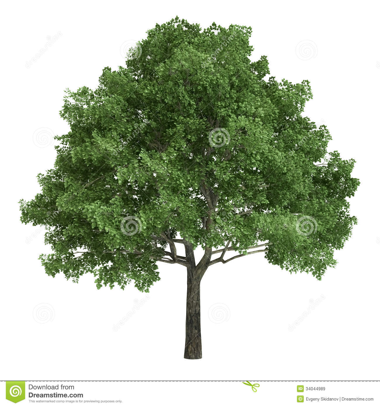 North American Oak Tree Isolated Royalty Free Stock Images.