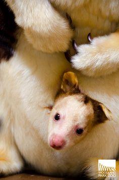 7 Best Tree Kangaroo Conservation Program images.