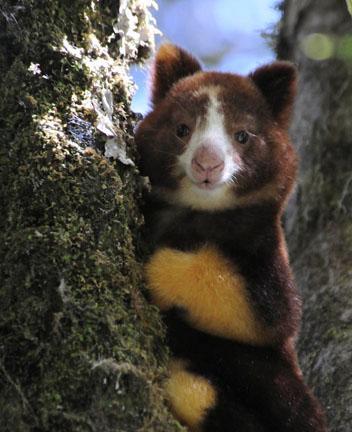 Tree Kangaroo Conservation Program (TKCP): A Successful.