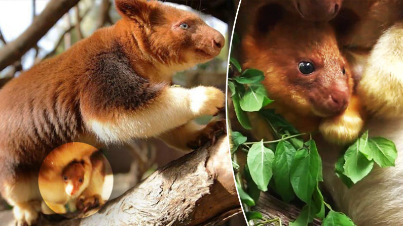 First Endangered Tree Kangaroo Born in Australian Sanctuary.