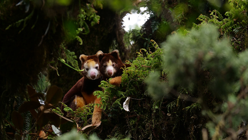 Local action to protect biodiversity: the tree kangaroo in.