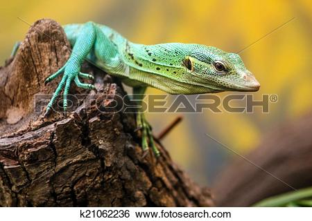 Stock Images of Emerald Tree Monitor, Varanus prasinus, climbing.