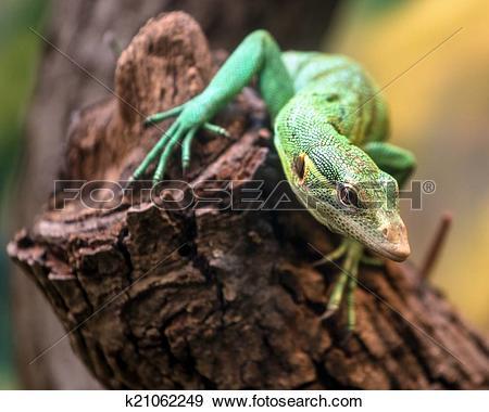 Stock Photograph of Emerald Tree Monitor, Varanus prasinus.
