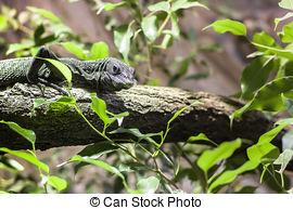 Stock Photos of Emerald Tree Monitor, Varanus prasinus, climbing.
