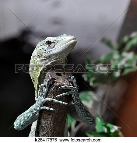 Stock Images of Green Tree Monitor climbing branch k26417876.