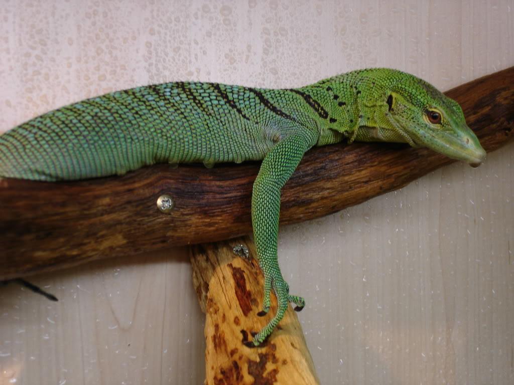 Blue Tree Monitor Lizard.