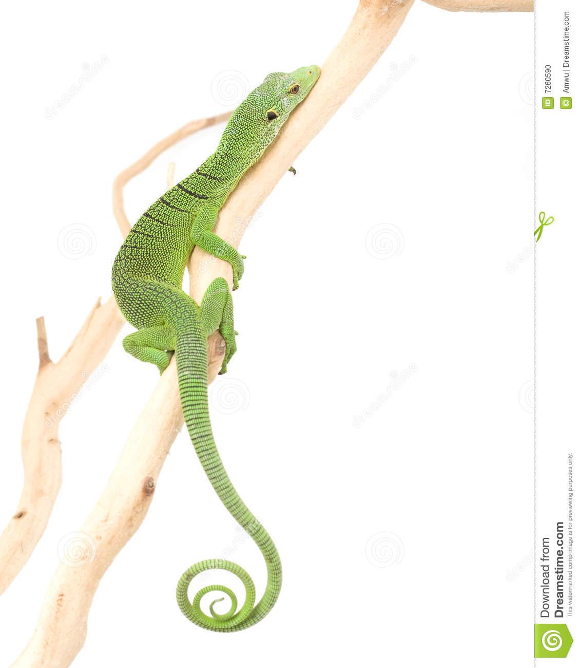 Green Tree Monitor Lizard Stock Photo.