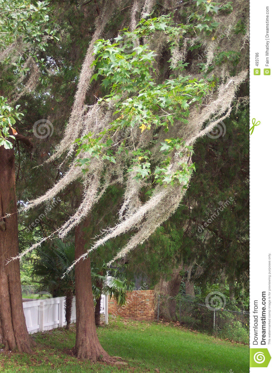 Spanish Moss In Trees Royalty Free Stock Image.