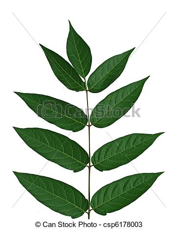 Stock Photos of Tree of heaven Leaf.