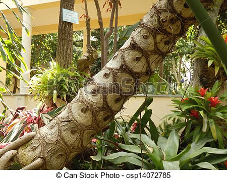 Pictures of Tree philodendron.
