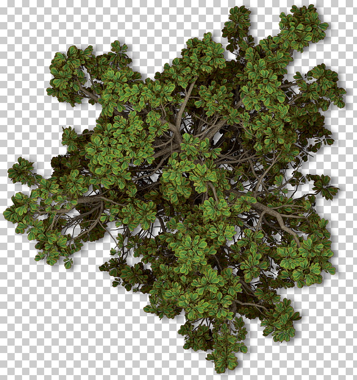 Tree Plant Autumn Shrub, tree top view, green leaves PNG.